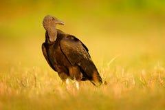 Хищник уродской черной птицы черный, atratus Coragyps, сидя в зеленой траве, Pantanal, Бразилия стоковая фотография rf