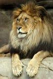 хищник льва короля зверей предпосылки зеленый Стоковое Изображение