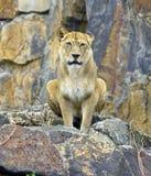Хищник львицы зуб большой кошки собачий Стоковые Фотографии RF