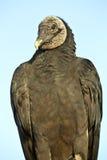 хищник coragyps atratus черный Стоковые Изображения RF