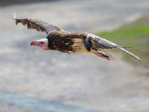 Хищник Griffon в полете Стоковые Изображения
