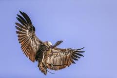 Хищник Griffon в полете Стоковая Фотография RF