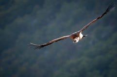 Хищник Griffon в provencale Drome, Франция Стоковые Фото