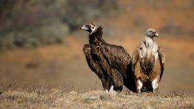Хищник Griffon и черный хищник стоят совместно на поле Стоковые Фотографии RF
