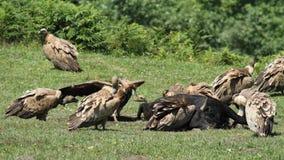 Хищник Griffon на Jaizkibel Стоковое фото RF
