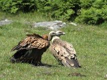 Хищник Griffon на Jaizkibel Стоковое Изображение RF