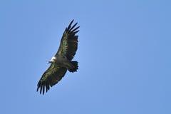 Хищник Griffon на Jaizkibel Стоковые Фото