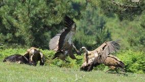 Хищник Griffon на Jaizkibel Стоковые Изображения RF