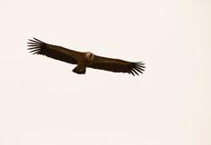 хищник griffon полета Стоковые Фото