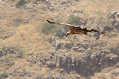 хищник griffon полета Стоковое Изображение