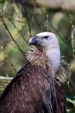 Хищник Griffon сидя на ветви и смотря позади стоковые изображения rf