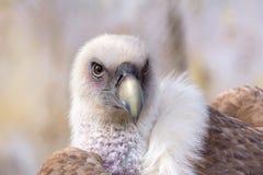 Хищник Griffon Стоковые Фотографии RF