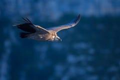 Хищник Griffon Стоковые Фото
