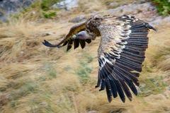 Хищник Griffon Gyps fulvus в полете Стоковое Изображение