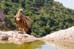 Хищник Griffon Gyps fulvus Стоковое Изображение RF