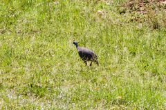 Хищник Guineafowl в траве Стоковые Фото