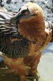 хищник gypaetus barbatus бородатый Стоковое Фото