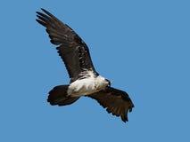 хищник gypaetus barbatus бородатый Стоковое Изображение
