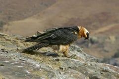 Хищник Lammergeier бородатый Стоковое фото RF