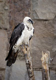 Хищник Lammergeier птицы Стоковое Фото