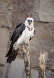 Хищник Lammergeier птицы Стоковая Фотография