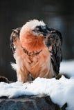 хищник lat gypaetus barbatus бородатый Стоковое Фото