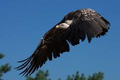 хищник ruppel s griffon полета Стоковые Изображения RF