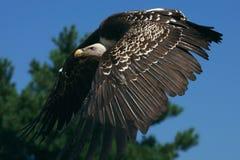 хищник ruppel s griffon полета Стоковое Изображение