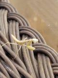 Хищничая поднимающее вверх mantis близкое Стоковая Фотография RF