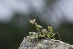 Хищничая Mantis в Таиланде Стоковая Фотография RF