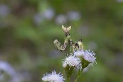 Хищничая Mantis в Таиланде Стоковое Изображение RF