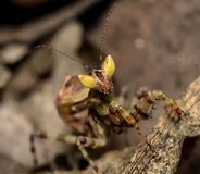 Хищничая Mantis стоковое изображение