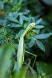 Хищничая Mantis Стоковое Фото