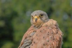 Хищные птицы - общий Kestrel - Falco Tinnunculus стоковое фото