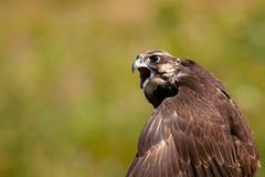 Хищные птицы - cherrug Falco сокола Saker Портрет Конца-вверх стоковое изображение rf