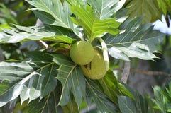 Хлебные деревья в лесе Стоковое Изображение