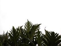 Хлебные деревья на белой предпосылке стоковое изображение