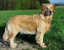 хлебородная собака моя стоковые фото