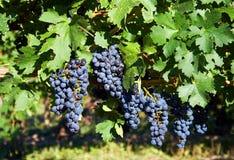 хлебоуборка виноградины стоковое фото rf