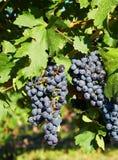 хлебоуборка виноградины стоковые изображения rf