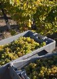 хлебоуборка виноградины стоковая фотография