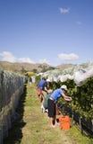 хлебоуборка виноградины стоковое фото
