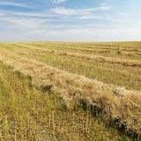 хлебоуборка льна урожая стоковые фото