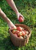 хлебоуборка осени яблока Стоковые Фото