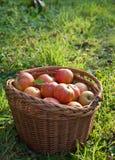 хлебоуборка осени яблока Стоковое Фото
