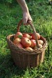 хлебоуборка осени яблока Стоковая Фотография