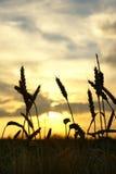 хлебоуборка поля над заходом солнца Стоковые Фото