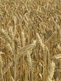 хлебоуборка поля Стоковое Изображение RF