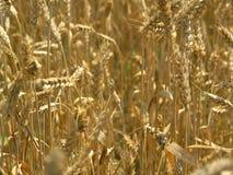 хлебоуборка поля Стоковая Фотография