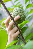 хлебоуборка свежих фруктов Стоковое Фото